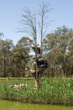 Australian Ibis Nests Stock Photography