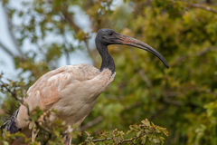 Australian Ibis Stock Photography