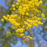 Australian Icon Golden Wattle Flowers Stock Image