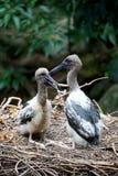 Australian Jabiru Black Necked Storks Stock Image