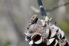 Australian Jacky Dragon lizard Royalty Free Stock Photography