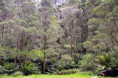 Australian Jungle with eucalyptus trees and ferns royalty free stock photo
