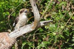 Australian Juvenile Kookaburra Royalty Free Stock Images