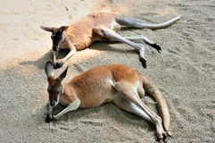 Australian kangaroo. Two Australian kangaroo is lining on sand for a rest Royalty Free Stock Photo