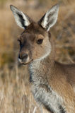 Australian kangaroo Royalty Free Stock Photography
