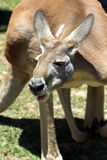 Australian Kangaroo. Big Australian Kangaroo Royalty Free Stock Photo