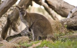 Australian Kangaroo. In the woods Royalty Free Stock Photography