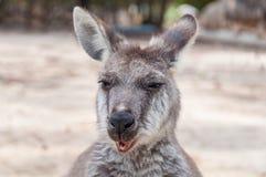 Australian kangaroo animal close up portrait. Australian kangaroo animal chewing food, eating portrait. Australian wildlife background Stock Image