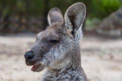 Australian kangaroo animal close up portrait. Australian kangaroo animal chewing food, eating portrait. Australian wildlife background Royalty Free Stock Photos