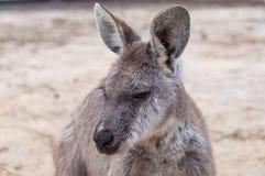 Australian kangaroo animal close up portrait. Australian wildlife background Royalty Free Stock Photo
