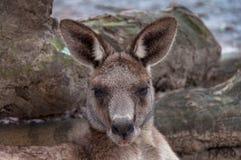 Australian kangaroo animal close up portrait. Australian wildlife background Royalty Free Stock Photos