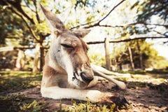 Australian kangaroo Royalty Free Stock Image