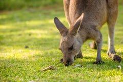 Australian Kangaroo eating Royalty Free Stock Photography