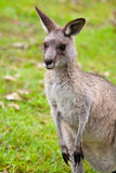 Australian kangaroo in grass Stock Photography