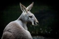 Australian kangaroo headshot on black background royalty free stock image