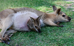 Australian Kangaroo with Joey in Pouch.  Stock Images