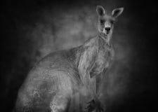 Australian kangaroo (Macropus giganteus)  in black and white. Australian kangaroo with ears pricked and regal stance. The word kangaroo derives from the Guugu Stock Images