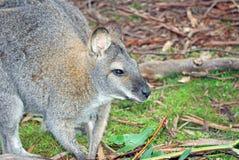Australian kangaroo Stock Image