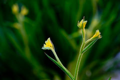 Australian Kangaroo Paw - Haemodoraceae Anigozanthos Bush Gold - Stock Photos