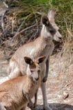 Australian kangaroo portrait. Australian Eastern Grey Kangaroo animals portrait. Wildlife background Stock Photography
