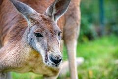 Kangaroo. Close up of Kangaroo in park in Australia stock photo