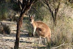 Australian Kangaroo. In scrubland in the outback of Australia Stock Photos