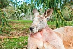 Australian kangaroo sleeping on the grass. Under eucalyptus tree on a day stock photos