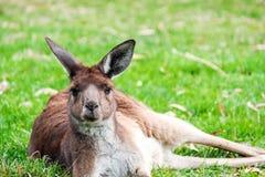 Australian kangaroo sleeping on the grass. Under eucalyptus tree on a day stock images