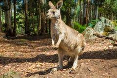 Australian Kangaroo standing Stock Image