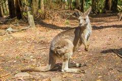 Australian Kangaroo standing Royalty Free Stock Image