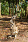 Australian Kangaroo standing Royalty Free Stock Photo