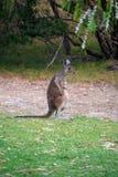 Australian Kangaroo standing upright and scratching himself stock photography