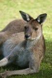 Australian Kangaroo Stock Images
