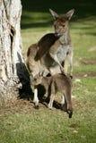 Australian Kangaroo Royalty Free Stock Photo