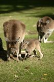 Australian Kangaroo Royalty Free Stock Photos