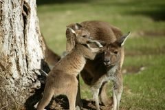 Australian Kangaroo Stock Photo