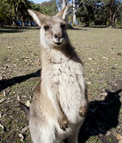 Australian kangaroo wideangle Royalty Free Stock Photography