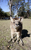 Australian kangaroo wideangle Royalty Free Stock Image