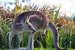 Australian Kangaroo wild & free in bush grass Royalty Free Stock Image