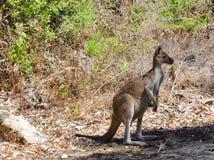 Australian Kangaroo: Wild in Yanchep National Park Stock Photos