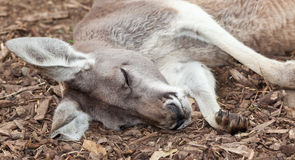 Australian kangaroo Stock Photography