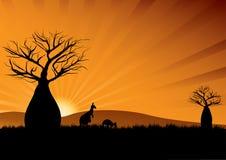 Australian kangaroos among baobab trees at sunset Stock Images
