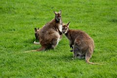 Australian kangaroos familyon the green grass Stock Photo