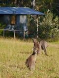 Australian Kangaroos in the grass Royalty Free Stock Photos