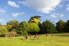 Australian kangaroos on grass Stock Photo