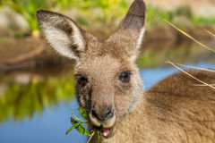 Australian Kangaroos in Pebbly Beach. Closeup of an Australian red kangaroo, Macropus rufus, eating grass on the famous Pebbly Beach in the Murramarang National Royalty Free Stock Photo