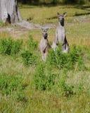 An Australian Kangoroo couple Royalty Free Stock Image