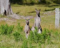 An Australian Kangoroo couple Stock Photo