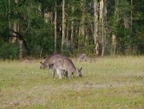 Australian Kangoroos Stock Photography