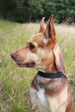 Australian kelpie dog side profile Stock Images